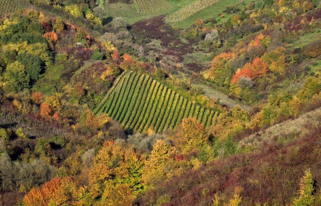 vinograd šuma